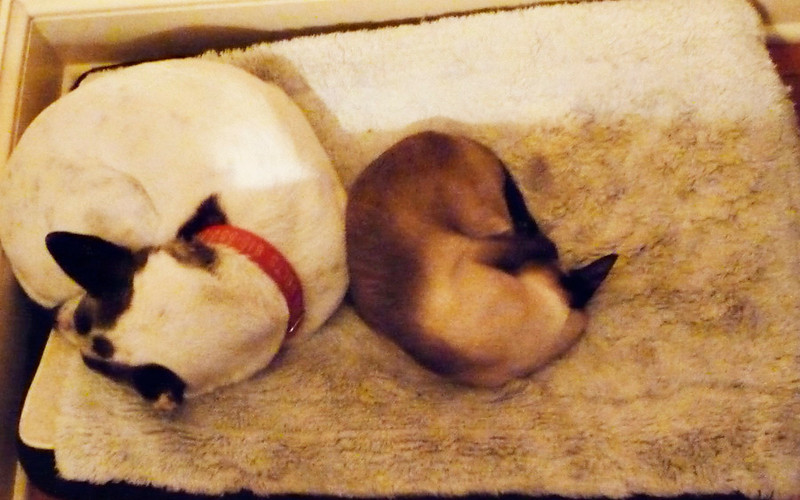 She didn't mind sharing her bed with Elfin our Siamese cat.