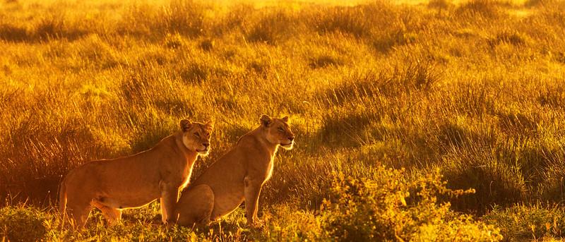 Lions_AR_Ndutu_February_-9681.jpg