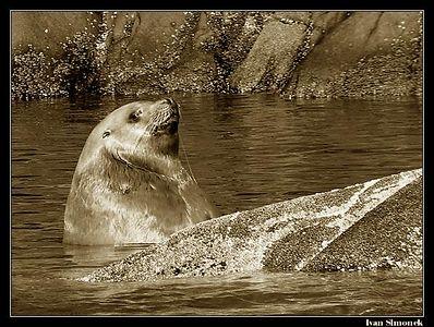 SEALS/SEA LIONS.