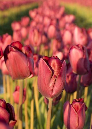 Skagit Valley Tulip Festival - April 2006