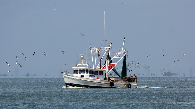 A crown of Laughing Gulls circles this shrimp boat.