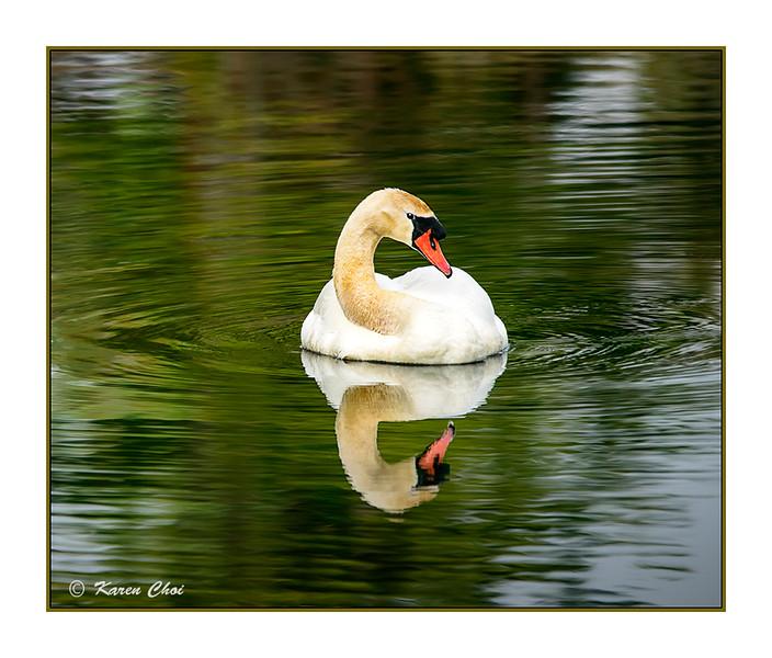 swan 2 sm.jpg