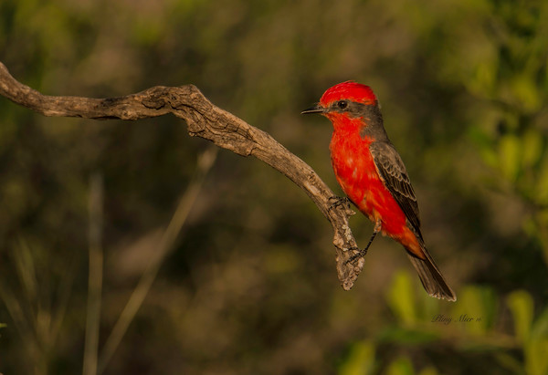 Vermillion Flycatcher TR_DWL6991.jpg