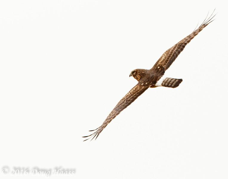 Female Northern Harrier Circus cyaneus