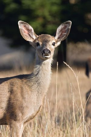 Black-tailed deer, Santa Cruz, California