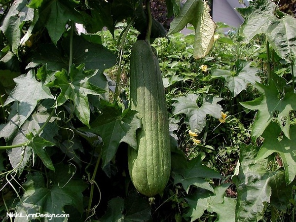 Growing Luffa Sponges in the Garden I NikkiLynnDesign.com