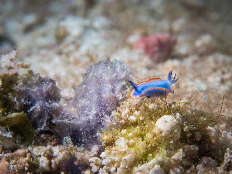 red line blue sea goddess: Risbecia nyalya