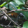 2017_ spotted antbird_ Gamboa Pipelin Rd_ Panama_AQ3T4816