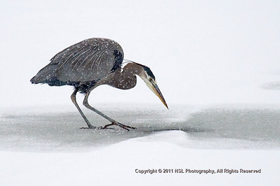 Great Blue Heron pecking through the ice of the impoundment pond at the John Heinz National Wildlife Refuge