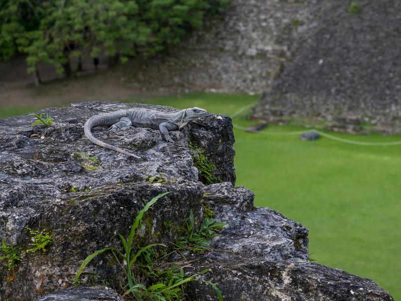 Iguana on rock, Ancient Mayan Archaeological Site, San Jose Succotz, Cayo District, Belize