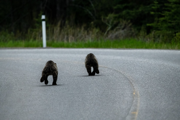 6-21-20 Grizzly Mom & 2 Cubs On The Road