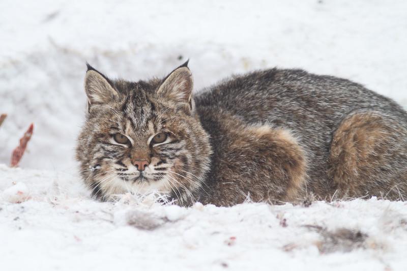 Bobcat at road-killed deer CR7 N of CR29 Sax-Zim Bog MN IMG_1032.jpg