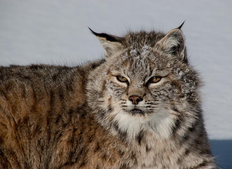 4433-Bobcat-©Yvonne Carter.jpg