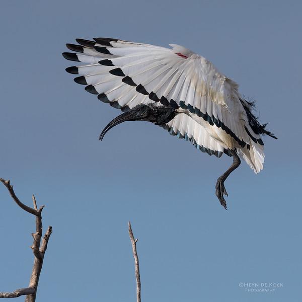 African Sacred Ibis, Intaka Island, Cape Town, Sept 2016-3.jpg
