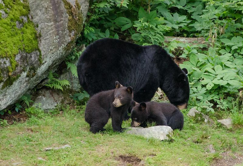 Black Bear in Yard-58-25.jpg