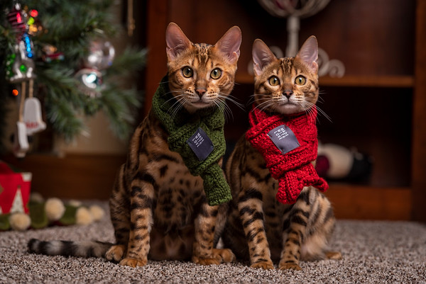 Rafa and Rora The Bengal Siblings