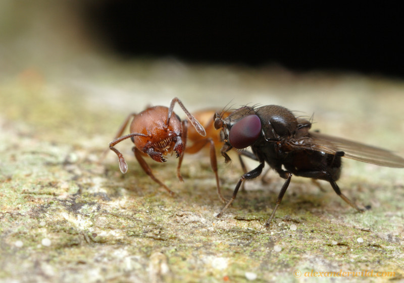 Milichia patrizii, the ant-mugging fly, is a kleptoparasite of Crematogaster ants.
