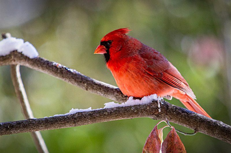 CardinalOnSnowyBranch_01.jpg