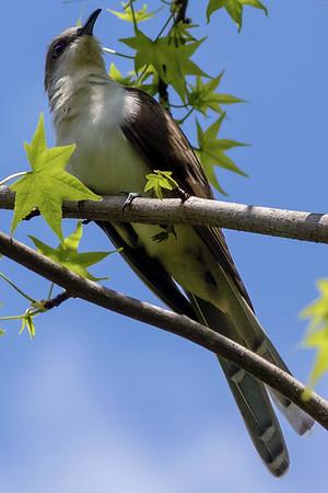 Black-billed Cuckoos