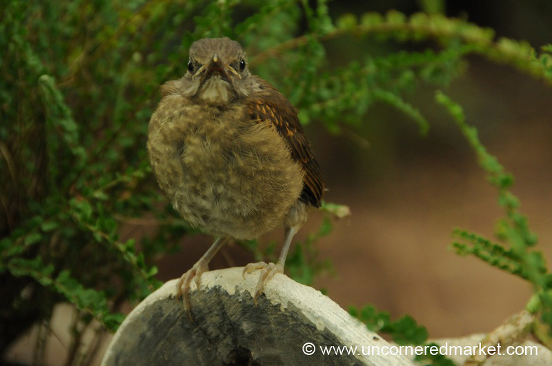 Puffed Out Bird - Concepcion, Paraguay