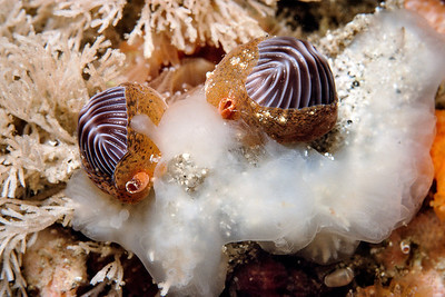 California Mollusks