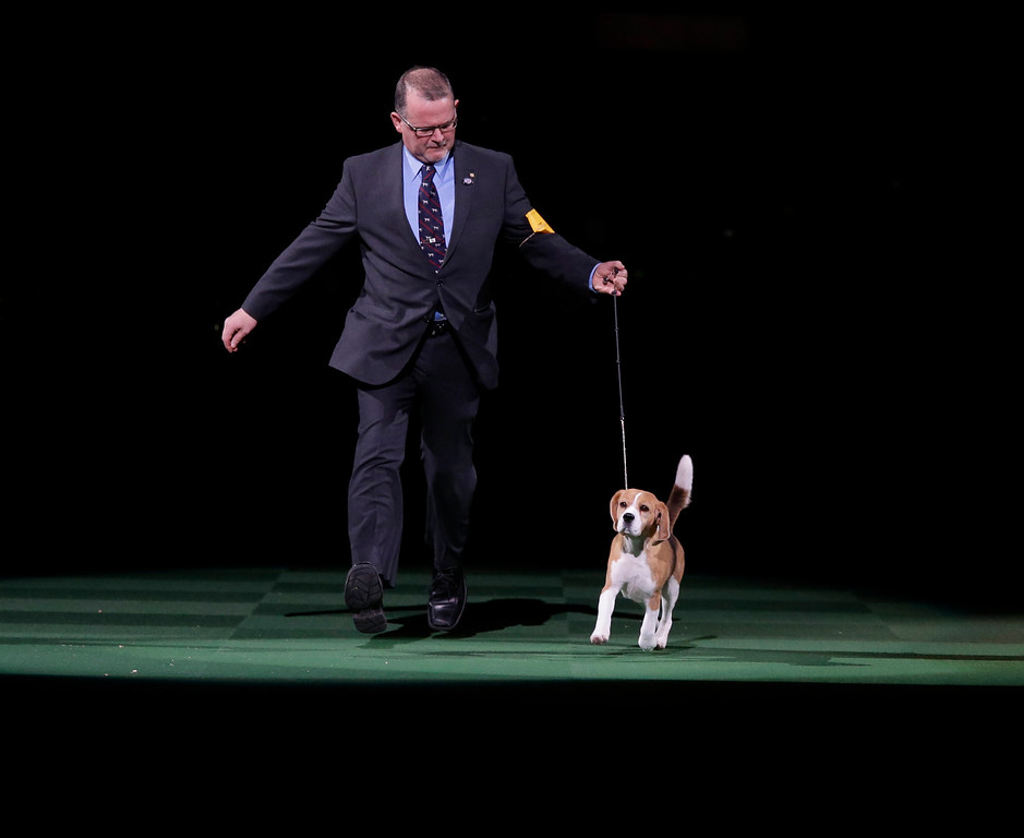 . Handler William Alexander shows Miss P, a 15-inch beagle, during the best in show competition at the Westminster Kennel Club dog show, Tuesday, Feb. 17, 2015, at Madison Square Garden in New York. Miss P won best in show. (AP Photo/Mary Altaffer)
