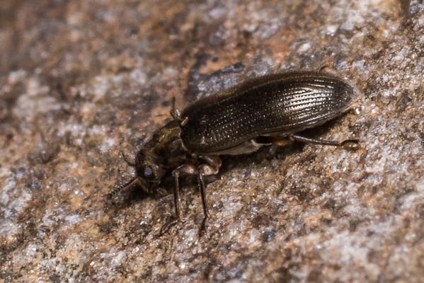 Riffle beetles (Elmidae)