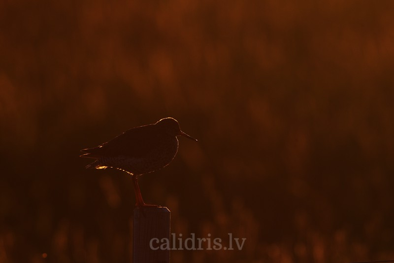 silhouette of a Common Redshank standing on the top of a fence post