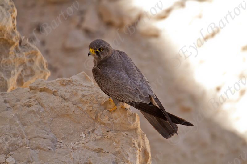 5. Sooty Falcon (Falco concolor) - בז שחור