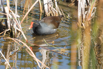 03_Everglades - Common Moor Hen