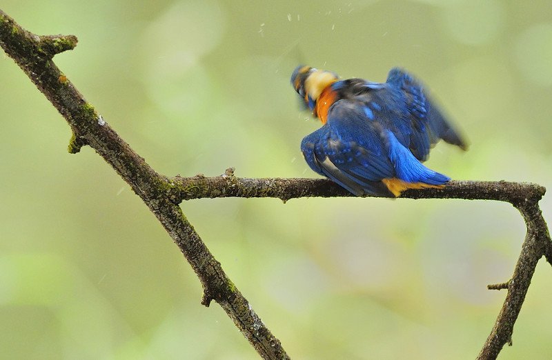 Common Kingfisher-010.jpg