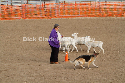 Saturday Herding Trials