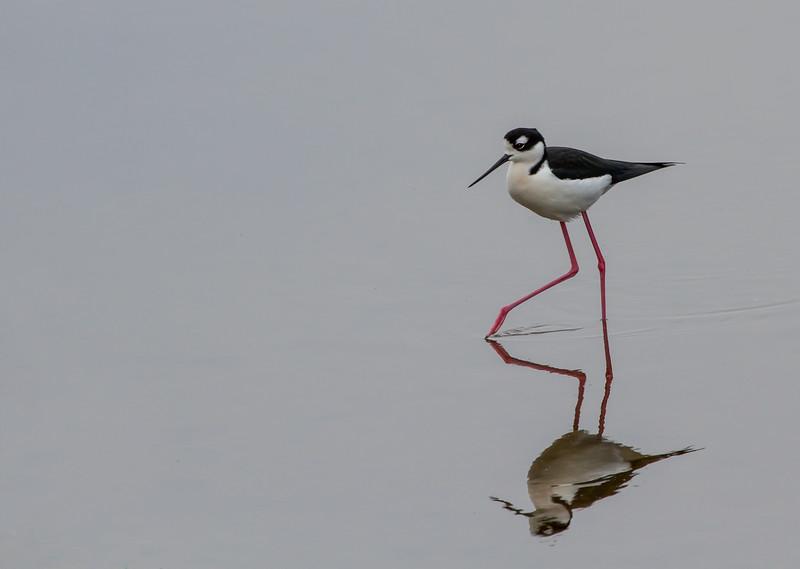 Black-necked Stilt -  taken in Florida