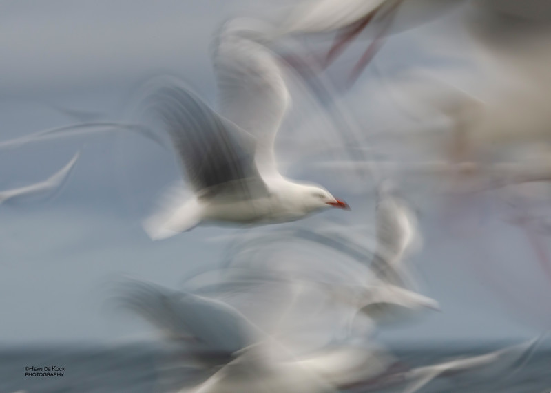 Silver Gull, Wollongong Pelagic, Jun 2012.jpg