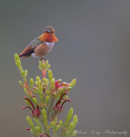 Santa Cruz Hummingbirds