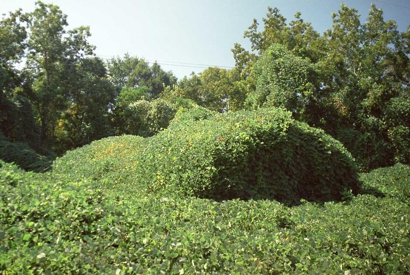 Kudzu covered barn near Abbeville, Ala. in summer.