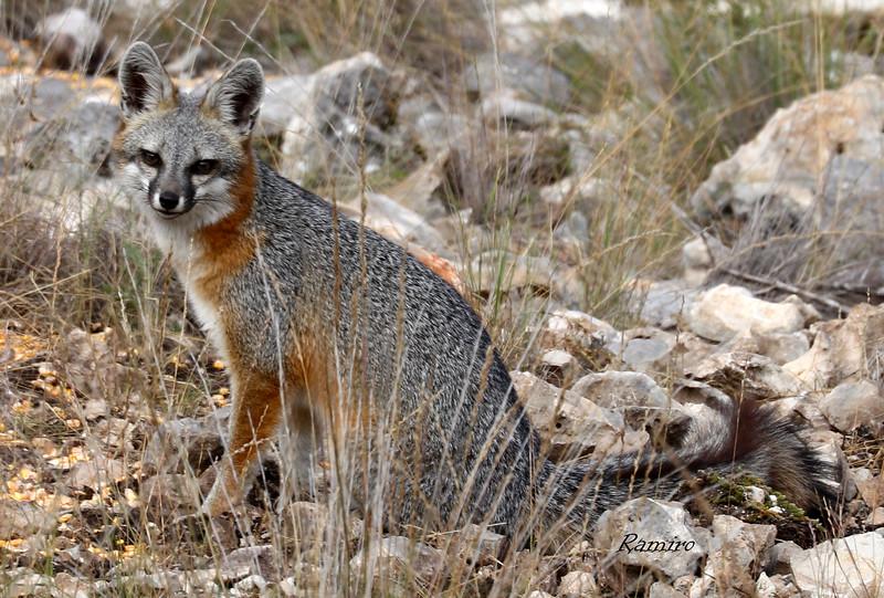Gray Fox1 IMG_2704.jpg