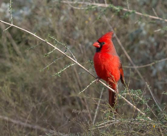 Cardinal male 2_DWL4737.jpg