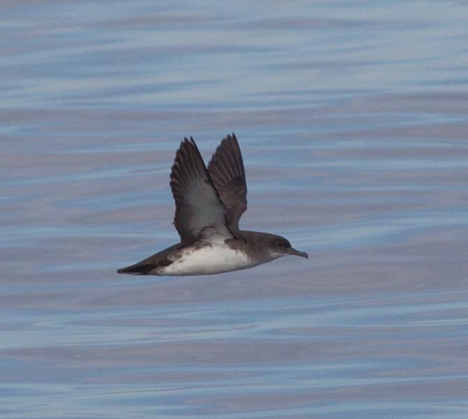 Black-vented  Shearwater  San Diego Waters 2013 01 01 (1 of 1).CR2