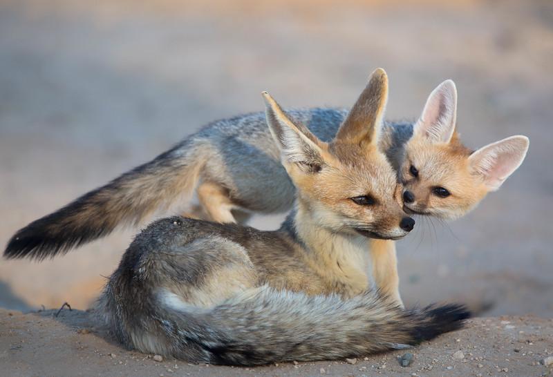 Cape Fox vixen and cub, Kalahari Desert