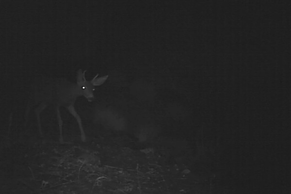 Mule Deer Buck 258 AM.AVI