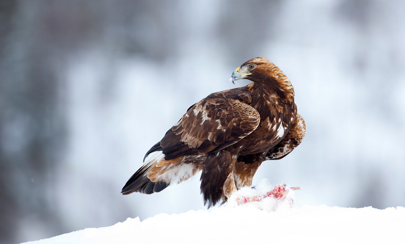 Golden Eagle Norway 15.jpg