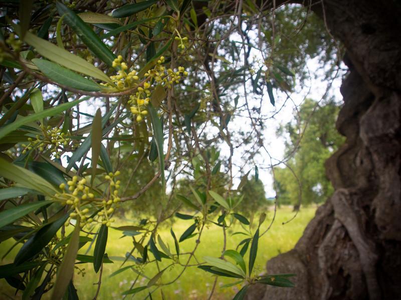 brindisi brancat olive trees 5.jpg