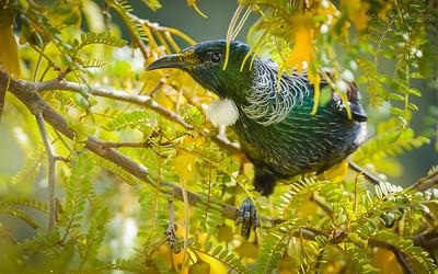 Te Korowai o Waiheke Birds