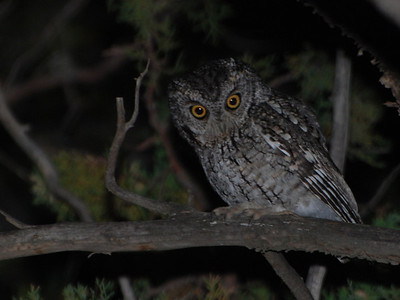 Whiskered Screech Owl (Megascops trichopsis