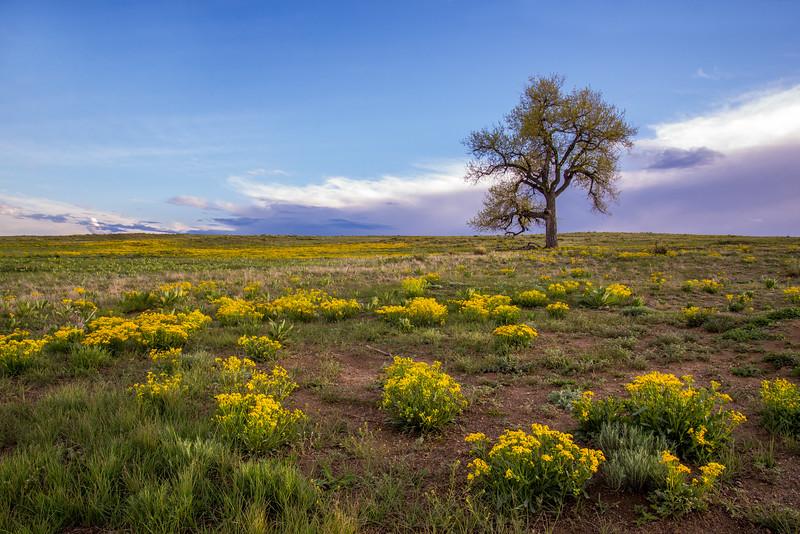 Colorado Prairie Bloom