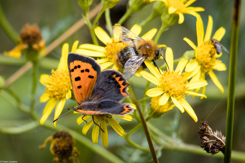 Small Copper  and Bee