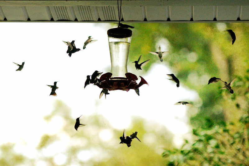I thought the migration had peaked, but we were overwhelmed by another swarm today.  Thankfully, Dave comes home for lunch and was able to refill the feeders.  The Hummingbird Society says that one ounce will feed five hummingbirds.  We're using over 130 ounces each day, so I'd say we're feeding about 650 hummingbirds a day.  That's a lot!
