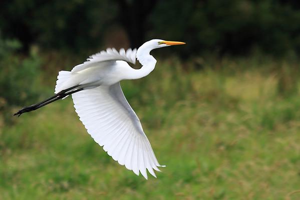 Great Blue Herons/Egrets
