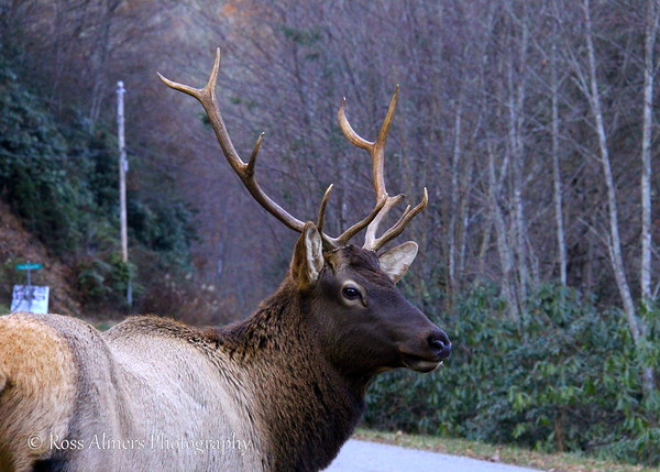 Up Close With Elk